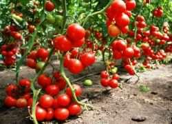 Как поливать помидоры в теплице из поликарбоната?