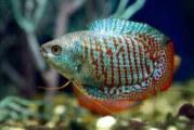 Гурамі — лабіринтова рибка