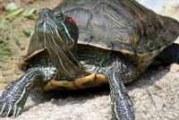 Хвороби червоновухих черепах