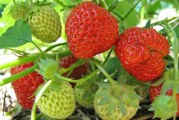 Клонування суниці садової (полуниці)