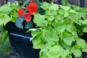 Батат і топінамбур — красивоквітнучі універсали