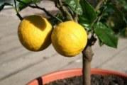 Як вилікувати хвороби лимона в домашніх умовах?