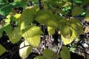 Поетапний догляд за малиною восени підвищує імунітет і врожайність