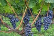 Про морозостійкий винограді