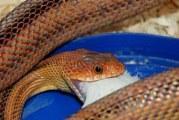 Як, чим харчуються змії?