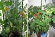 Як виростити помідори вдома: сорти томатів, посів та догляд