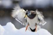 Дикі качки у фотографіях Берт де Тіллі