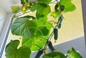 Вирощування огірків в домашніх умовах
