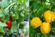 Вирощування солодкого перцю: сорти, посадка і догляд