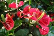 Квітка Антуріум або «чоловіче щастя» — особливості догляду і пересадки