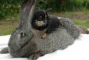 Найпродуктивніші кролики — велетні фландри і споріднені їм породи