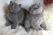 Чим годувати шотландське капловухе кошеня
