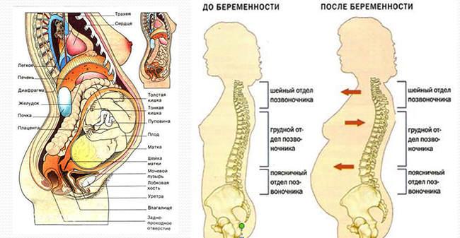 Строение беременной женщины внутренние органы в картинках 20