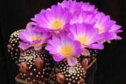 Які бувають різновиди кактусів