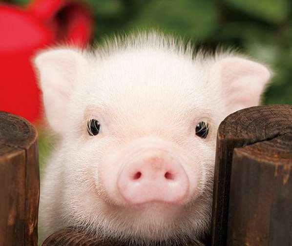 Картинки по запросу свиня фото