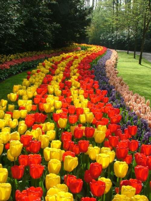 Розмноження тюльпана. Сорти тюльпана. Посадка і догляд f6471ddd6eb44
