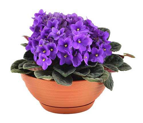 Як добитися шапкового цвітіння фіалки 4bef652feb37f