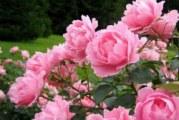 Коли цвітуть півонії?