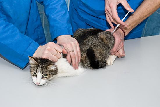 Как правильно сделать укол коту