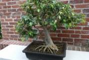 Дерево бонсай: вирощуємо улюблені рослини в мініатюрі своїми руками
