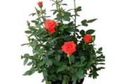 Як доглядати за домашньою трояндою в горщику