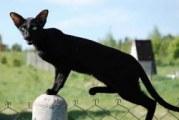 Орієнтальна кішка — опис породи