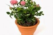 Троянда: догляд в домашніх умовах