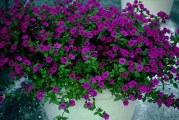 Петунія – королева однорічних квітів. Різновиди петуній