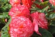 Бегонія: батьківщина рослини