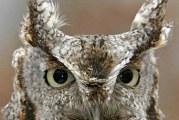 Зір сови: як влаштовані її очі?