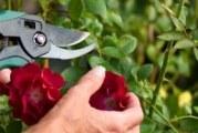 Як обрізати троянди восени