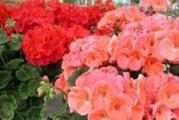 Герань: батьківщина рослини