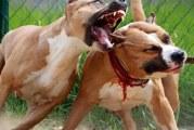 Бої бійцівських собак в наші дні