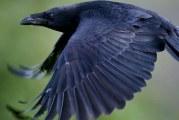 Як дізнатися, яка швидкість ворони в польоті?