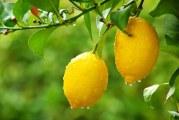 Як виростити лимон з кісточки в домашніх умовах: покрокова інструкція та відео-поради