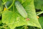 Чим удобрювати огірки?