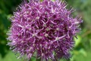 Цибуля Анзур: корисні властивості, агротехніка вирощування