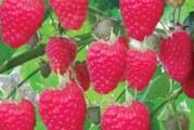 Штамбова малина та її вирощування