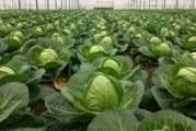 Як правильно вибрати і виростити насіння ранньої капусти