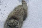 Символ московського зоопарку — манул