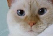 Сіамське кошеня: опис породи, характер, догляд та особливості годівлі