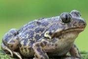 Часничниця: спосіб життя жаб