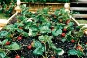 Грядки для полуниці та особливості її вирощування