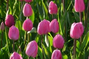 Коли прибирають тюльпани після цвітіння