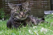 Глисти у кішок: симптоми, профілактика і лікування пігулками і краплями