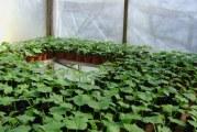 Вирощування огірків в теплиці з полікарбонату: особливості технології