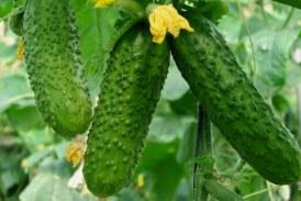 Сорти огірків для теплиці з полікарбонату: які краще садити