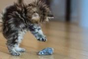 Чим годувати кошеня в 2 місяці (британського, шотландського, мейн-куна)?