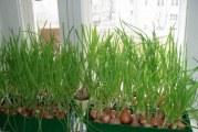 Як виростити зелену цибулю без землі