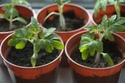 Як виростити міцну і здорову розсаду